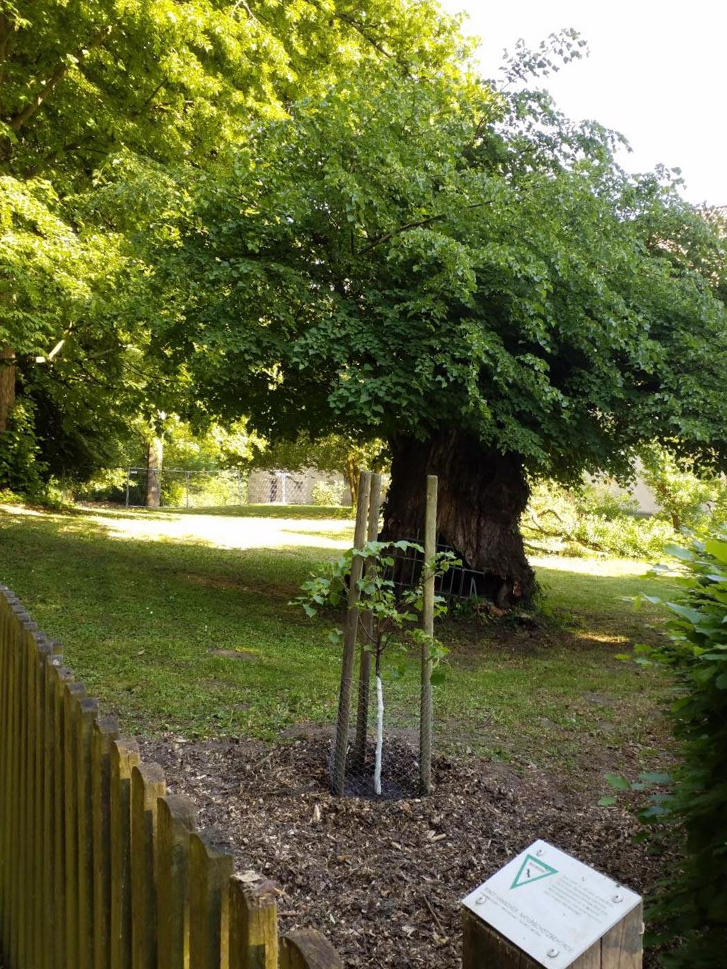 Gepflanzter Baum