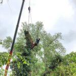 Baumfällung mit Kran und Klettertechnik